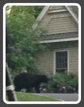 The bear, on Tupelo Road.