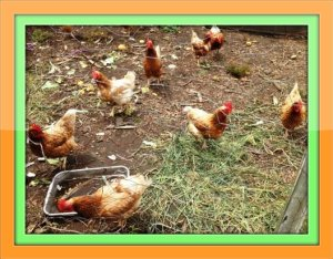 A few of the 125 chickens at Belta's Farm.