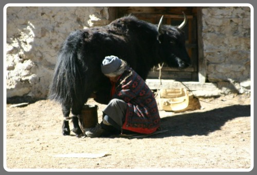 Milking a yak in the Himalayas.