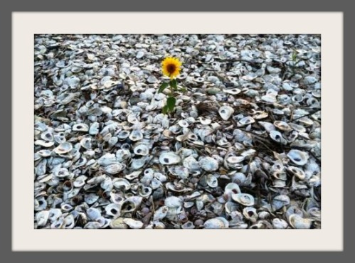 Sandy deposited tons of shells along Saugatuck Island beaches, but somehow this brave little sunflower took root in the sand last summer.  (Photo/William Adler)