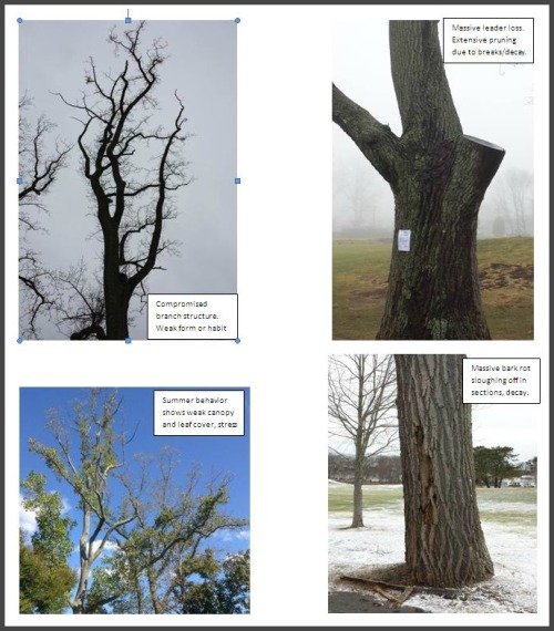 Tulips at Longshore. The captions in the report describe (clockwise from upper left): compromised branch structure; extensive pruning due to breaks/decay; massive bark rot sloughing off in sections; weak canopy and leaf cover.