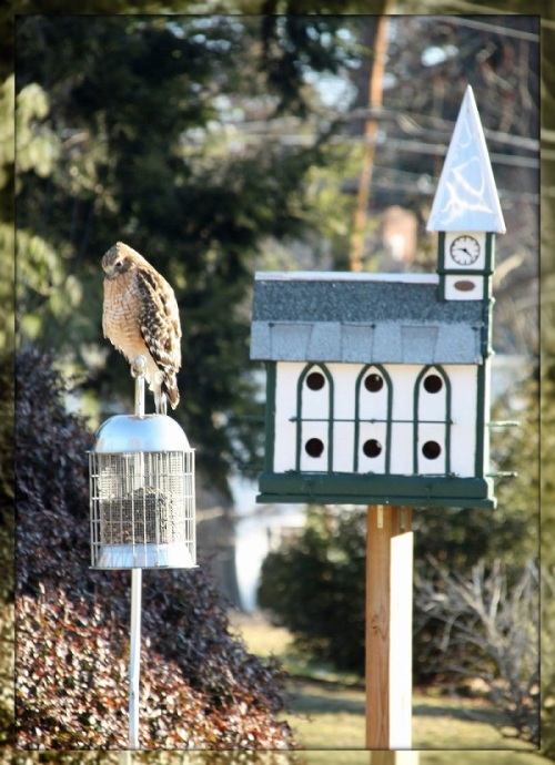 Hawk on Dr Richard Epstein's feeder