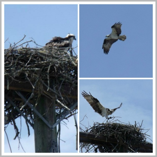 The osprey nest near the  Fresh Market parking lot, earlier this summer.