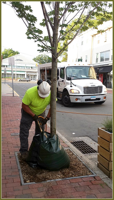 Tree care on Main Street.