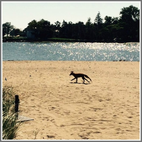 The fox on Old Mill Beach. (Photo/Robin Tauck)