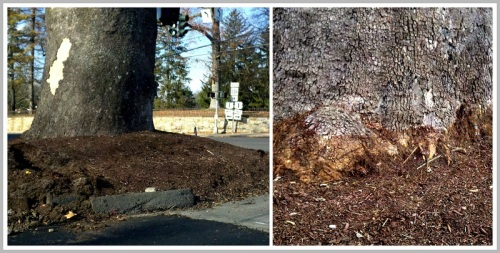 "Wendy Crowther's before-and-after photos show the ""mulch volcano"" (left), and the mulch pulled back (right)."