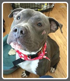 Storm is ready for adoption. He was left in an apartment in Bridgeport to fend for himself this winter.. He may be a mastiff/bully breed mix and is gentle and quiet. He is great with other dogs and knows basic commands.