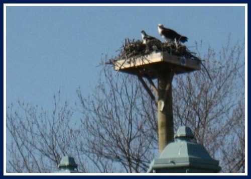 The ospreys' new home. (Photos/Jo Ann Davidson)