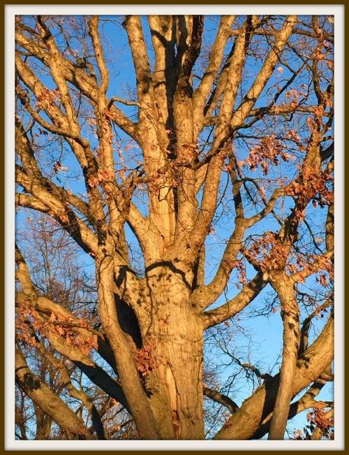 Oak tree near library - Lynn U Miller