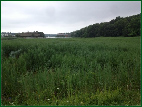 The Taylortown Salt Marsh abuts the proposed apartment complex at 122 Wilton Road.