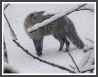 Rindy Higgins lives on Saugatuck Shores. This morning she saw this sight. Because he's reddish-gray, black behind the ears with a white chest and long tail that stuck out straight when he scooted off, she's pretty sure he's a fox -- not a coyote.
