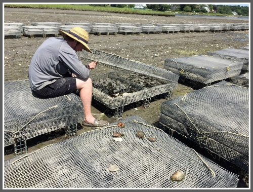 When the Mill Pond was drained last summer, the Northrops got a chance to inspect their oysters. They're grown in bags, hung from cages that are usually submerged. (Photo/Dan Woog)