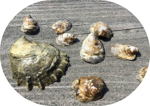Some of the oysters harvested last summer from Sherwood Mill Pond. (Photo/Dan Woog)