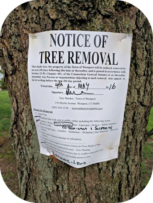 """A 3rd reader sent along a photo of this tree -- one of several on Evergreen Avenue slated for removal. The notice says the reason is """"storm damage."""""""