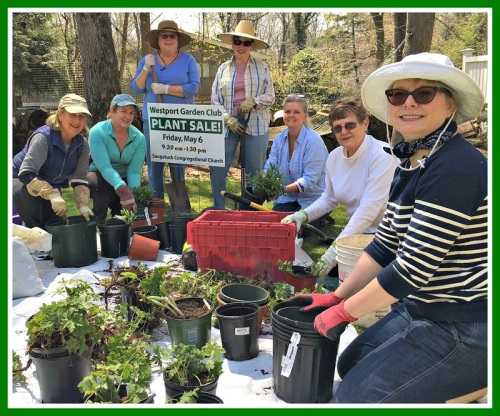 Last week, Westport Garden Club members divided existing plants (hardy, native perennials), and created new ones.