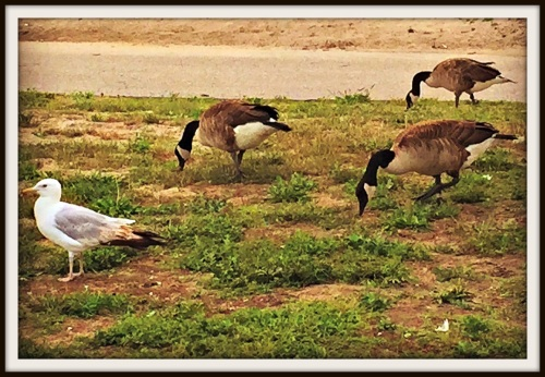 Seagulls can be pretty, or a pain. Canada geese don't bring too much to the party.